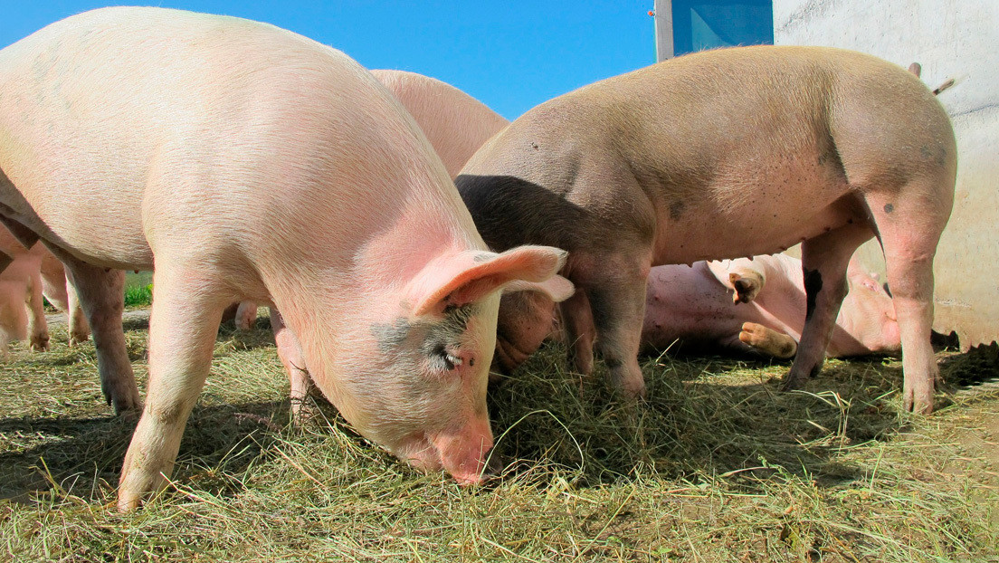 Prohíben ingreso de carne de cerdo a El Salvador
